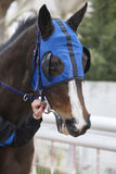 Race horse head with blinkers. Paddock area. Vertical Stock Photo