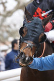 Race horse head with blinkers ready to run. Paddock area. Vertical Royalty Free Stock Photography