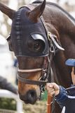 Race horse head with blinkers ready to run. Paddock area. Vertical Royalty Free Stock Image