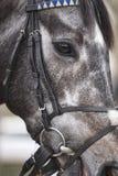 Race horse head detail ready to run. Paddock area. Stock Photo