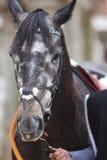 Race horse head detail ready to run. Paddock area. Royalty Free Stock Photo