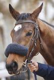 Race horse head ready to run. Paddock area Royalty Free Stock Photos