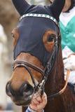 Race horse head ready to run. Paddock area. Royalty Free Stock Photo