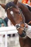 Race horse head ready to run. Paddock area. Royalty Free Stock Images