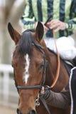 Race horse head ready to run. Paddock area. Stock Image