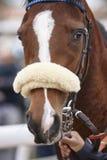 Race horse head ready to run. Paddock area Stock Photos