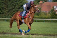 Race Horse On the Move. A Racehorse in full flight on the Training Gallops royalty free stock photos