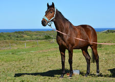 Race horse on pasture Royalty Free Stock Photo