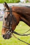 Race horse portrait Stock Image
