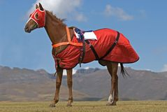 Race Horse in red Stock Images