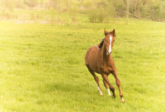 Race horse running in a field alone. Brown race horse (Breed Trakehner Royalty Free Stock Images
