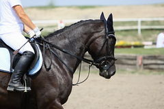 Race horse, sport. Horse portrait, sport horse beauty Stock Images