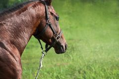 Race horse with a transparent eye. Race horse has a rest after run and eats a grass Royalty Free Stock Photo