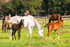 Race Horses Foals. Race Horses and foals in paddock field on stud farm Royalty Free Stock Photo