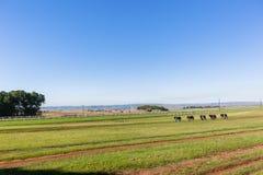 Race Horses Groom Training Landscape Stock Photo