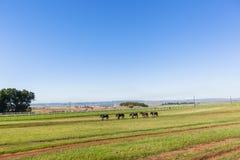 Race Horses Groom Training Landscape. Race horses groom walking animals on warm down at training track landscape Stock Photography