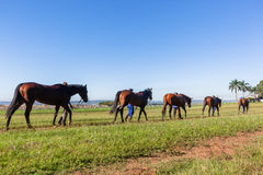 Race Horses Groom Training Tracks. Race horses groom walking animals on warm down at training track Royalty Free Stock Images