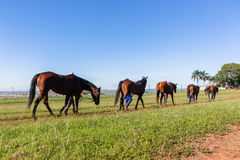 Race Horses Groom Training Tracks. Race horses groom walking animals on warm down at training track Stock Photography