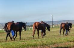 Race Horses Groom Training Tracks. Race horses groom walking animals on warm down at training track Royalty Free Stock Photos