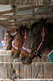 Race horses waiting. Racing horses waiting in the stalls for the next race to begin. Shallow DOF on first horse royalty free stock images