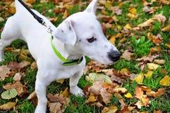 Race Jack Russell de chien Photo libre de droits