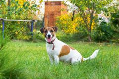 Race Jack Russell Terrier de chien photos stock