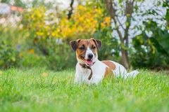 Race Jack Russell Terrier de chien photos libres de droits