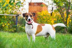 Race Jack Russell Terrier de chien images stock