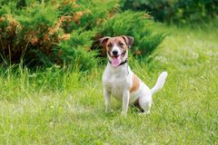 Race Jack Russell Terrier de chien photo libre de droits