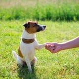Race Jack Russell Terrier de chien Amitié de concept photographie stock