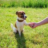 Race Jack Russell Terrier de chien Amitié de concept photo stock