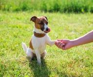 Race Jack Russell Terrier de chien Amitié de concept images stock
