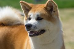 Race japonaise de plan rapproché de chiens d'Akita photos libres de droits