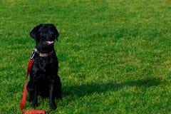 Race Labrador de chien photographie stock libre de droits