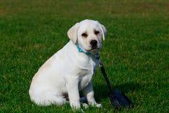 Race Labrador de chien photo stock