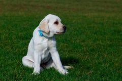 Race Labrador de chien photos stock