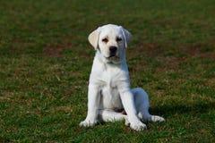 Race Labrador de chien images stock