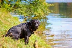 Race Labrador de chien se reposant par le lac Image stock