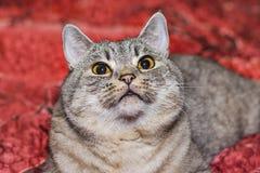 Race les Anglais Shorthair de chat Photo libre de droits