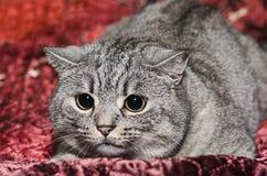 Race les Anglais Shorthair de chat Photo stock