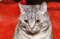 Race les Anglais Shorthair de chat Images libres de droits
