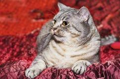Race les Anglais Shorthair de chat Image libre de droits