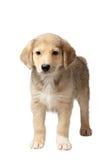 Race mélangée Ginger Puppy Stands Isolated sur le blanc Image libre de droits
