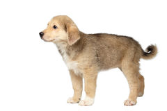 Race mélangée Ginger Puppy Stands Isolated sur le blanc Photo stock
