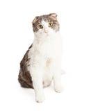Race mélangée par Shorthair domestique curieuse Cat Sitting Image stock