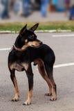 Race Manchester Toy Terrier de chien Photos libres de droits