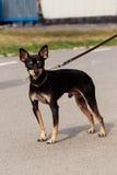 Race Manchester Toy Terrier de chien Photo libre de droits
