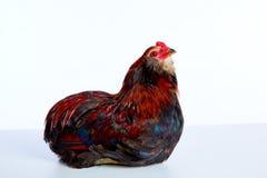 Race masculine d'egger d'Araucana Pâques de coq Image libre de droits