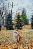 Race obéissante border collie de chien Portrait, automne, nature, tours, s'exerçant Photos libres de droits