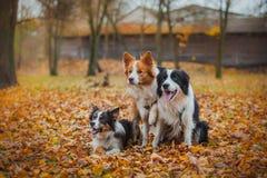 Race obéissante border collie de chien Portrait, automne, nature, tours, s'exerçant Photographie stock
